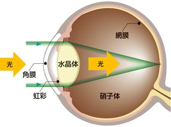 水晶体は透明で、光をよく通す